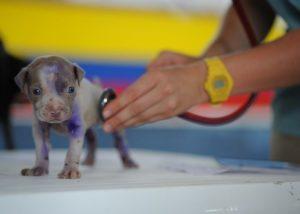 Vétérinaire prenant pouls chiot